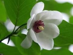 木兰盆景移栽后怎样养护的方法