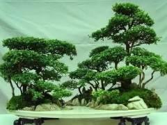 朴树类的树包石盆景养护要注意除虫害