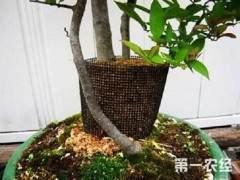促使盆景植物生根的三个有效方法