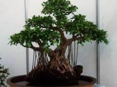 怎样使挖的盆景桩生根?