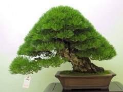 怎么在春季对松树盆景发芽修剪 图片