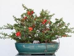 木瓜盆景开花-暑期的养护工作