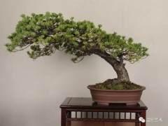 略谈树桩盆景怎么发芽修剪的3个方法