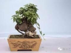 何首乌盆景怎样移栽养殖的5个方法
