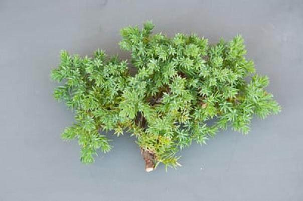 如何修剪杜松盆景的枝条?