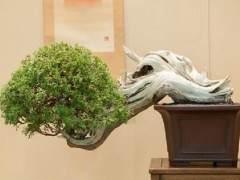 请欣赏约翰尼的杜松盆景[图片]