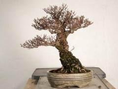 湾岛盆景第十五届年度展览 -- 盆景用盆