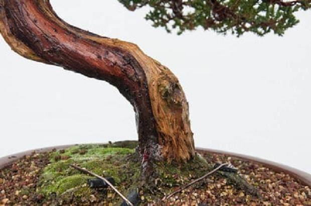 如何修剪杜松盆景上枯枝落叶?