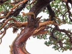 图解 如何修剪杜松盆景上枯枝落叶