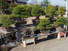 参观日本本田先生的盆景花园