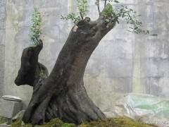 金弹子树桩盆景怎样移栽上盆的技术
