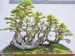 榆树盆景怎么修剪的时间与方法