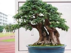 榆树盆景怎么养?日常制作修剪的6个方法