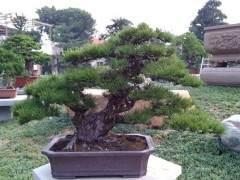 黑松盆景在养护期的雕刻