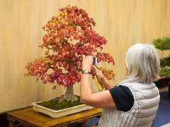 金州盆景联合会第37届大会 - 展出的落叶树木
