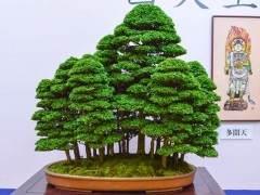 日本京都举行的大观十盆景展