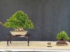 韩国鹅耳枥盆景展