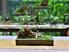 一个外国人和他的中国竹盆景