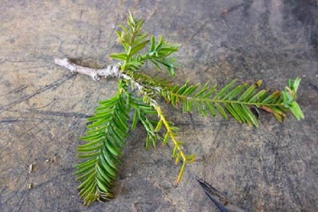 请注意先前剪下的叶子和从分支基地出现的新增长。