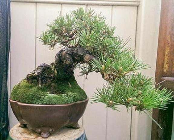 另一批来自同一批次的松木盆景 - 在过去的10年中以朋友的收藏品开发