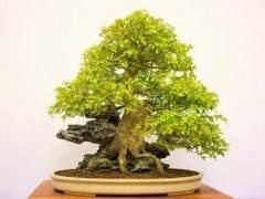 红木帝国盆景协会第32届年度展上的三叉戟枫树