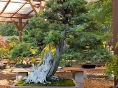 参观北加州盆景爱好者的花园