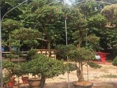 三角梅的盆景造型及鉴赏