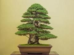 前往日本访问在京都的第35届泰康十盆景展