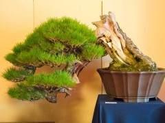 日本本州的盆景展