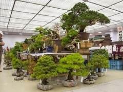 参观日本泰康十的盆景销售区