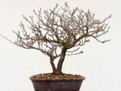 如何给紫藤盆景选择合适的盆子?