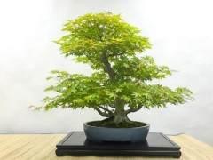 本月的湾岛盆景会议聚焦于日本枫树