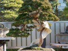 欣赏日本朋友木村的真柏盆景