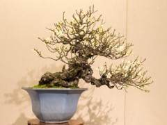 日本杏花盆景在东京上野公园展出