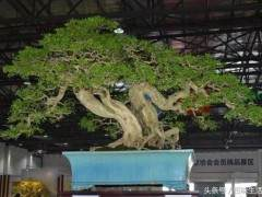 1000元买的九里香盆景 如今价值120余万元