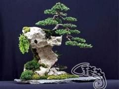 如何给附石盆景挑石选树?