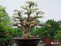 成活率高的盆景树种有哪些?