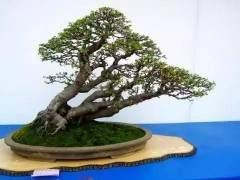 树木盆景新制作 我们该选取什么材料?