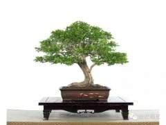 九里香盆景怎么制作和养护?