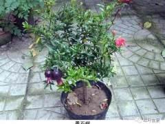 制作盆景的优良树种——墨石榴