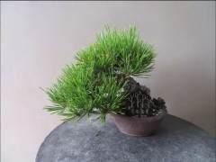 黑松微型老桩盆景的切芽操作示范