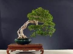 给盆景树体主干瘦身改造