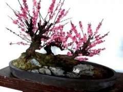 梅花盆景怎么配土上盆的5个方法 图片