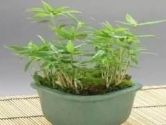 紫竹盆景怎样上盆移栽的方法 图片