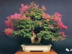 微型迎春盆景怎样移栽培育的方法
