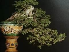 榆树老桩盆景的发芽修剪方法 图片