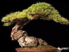 春季松树盆景的养护技巧
