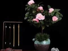 山茶花盆景怎么蟠扎造型的3个注意事项