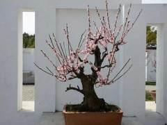 梅花盆景的发芽修剪 用什么方法 图片