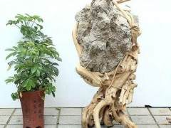 根抱石盆景的制作方法